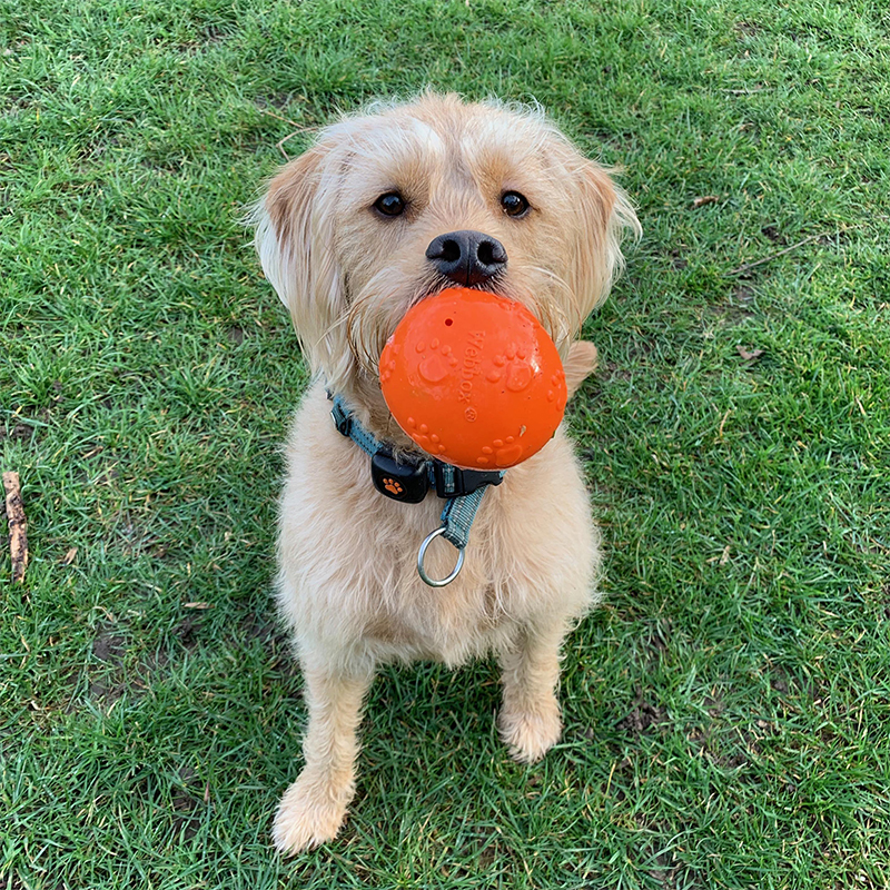 BorrowMyDoggy Labradoodle with a toy in their mouth