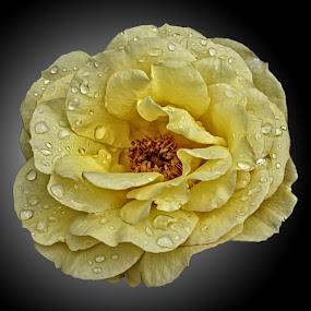 BA rose 52 by Michael Moore - Flowers Single Flower (  )