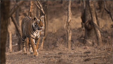 Photo: #tiger  Tigress Arrowhead Hunting for Food Raymond's Wild Tiger Photography Tours  Thanks to India for protecting these Tigers!  ray@raymondbarlow.com Nikon D810 ,Nikkor 200-400mm f/4G ED-IF AF-S VR 1/640s f/5.0 at 400.0mm iso1250   #india  #naturephotos #animal #animalphotography #wildlife #raymond #nature #wildlife #google #googlephotos  #naturephotography #wildlifephotography #travelphotography  #wildography #travel #phototour #nature #naturephotography  #phototour