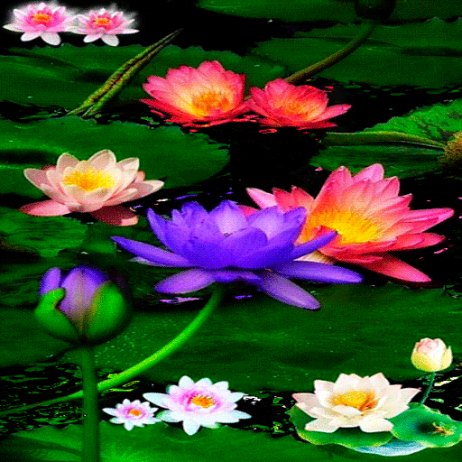 Multicolor Lotus LWP