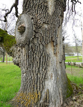 Photo: Acorn Woodpecker granary in thick bark of an old-growth oak, Santa Clara County, California