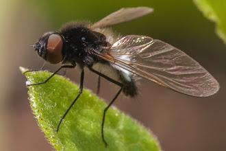 Photo: A most unusual fly Uma mosca muito pouco usual