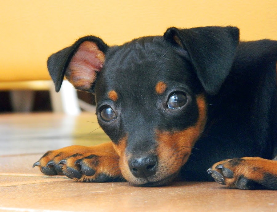 Penelope by Leonardo Cardoso - Animals - Dogs Puppies ( puppie, baby, dog, pinscher )