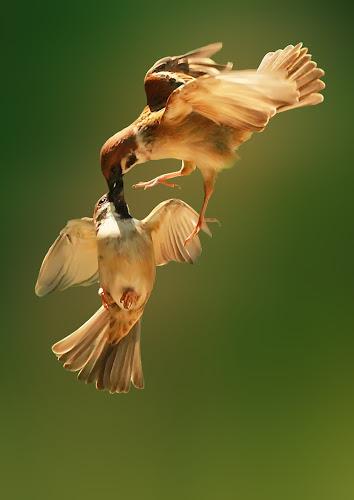 Hard Kiss by iD 's - Animals Birds ( pwctaggedbirds, birds )