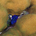 Jewel Damselfish