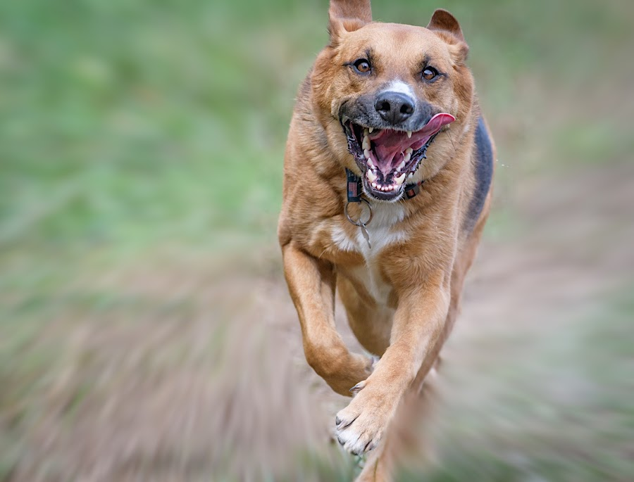 Shepard on The Move by John Sinclair - Animals - Dogs Running ( dogs, nature, action, german shepherd, running )
