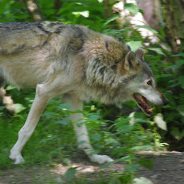 Wolf by Graham Coulson - Animals Other