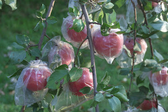 """Photo: 'Honeycrisp' apples bagged in plastic since fruit formation to protect from insect pests.  Honeycrisp was developed by the University of Minnesota, Agricultural Experiment Station.  Project #21-016, """"Breeding and Genetics of Fruit Crops for Cold Climates."""" Principal investigator: James J. Luby; scientist, David Bedford. Released in 1991.  Excellent fresh eating, explosively crisp and juicy, unusually long storage life.  Ripens the last week of September in Minnesota."""
