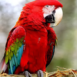 Red coco by Gérard CHATENET - Animals Birds
