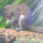 Irrawaddy squirrel. (কেৰ্কেটুৱা)