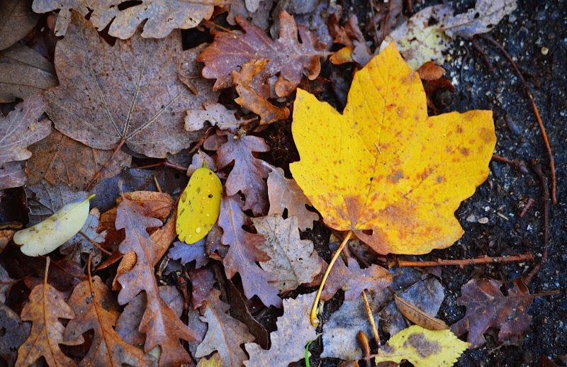 si sta come d'autunno sugli alberi le foglie di fraperry113