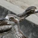 Bush Stone-curlew (pair)