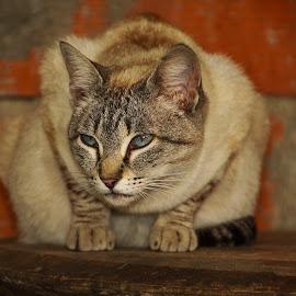 by Gjunior Photographer - Animals - Cats Portraits ( cat, animal )