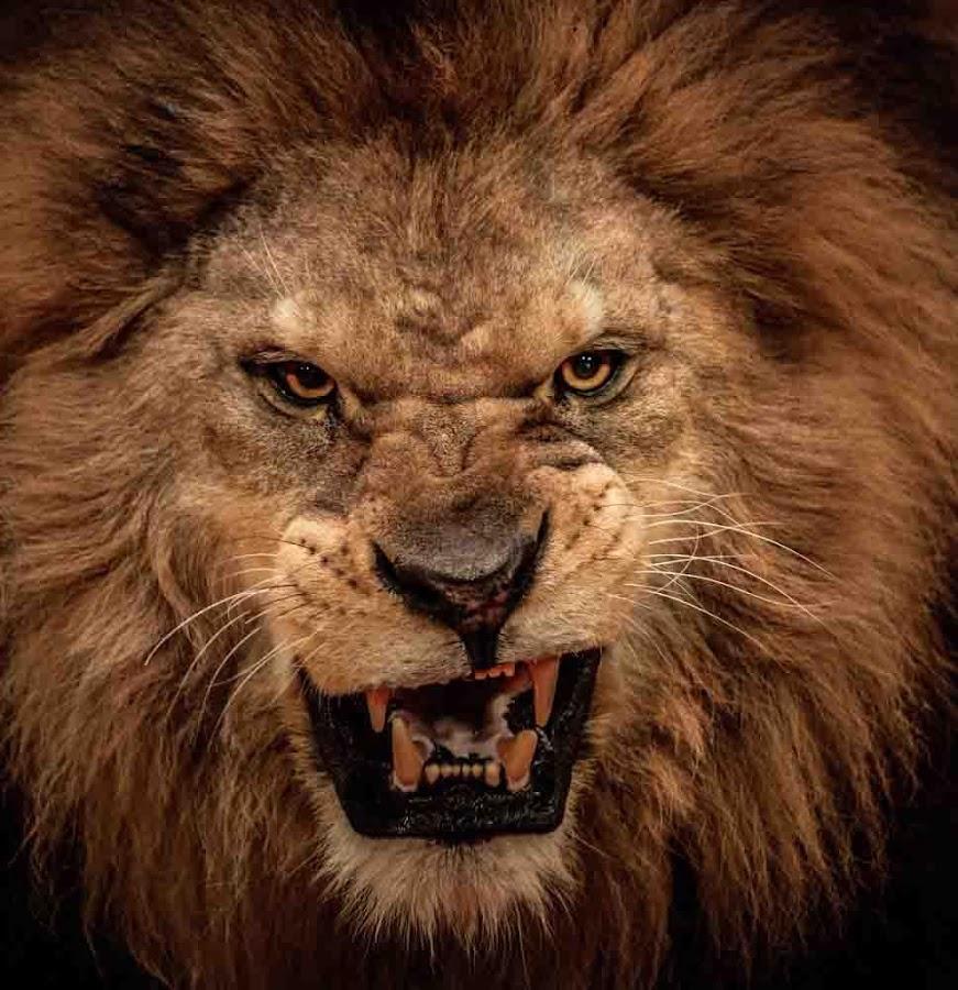 pin lion hd 3 - photo #8