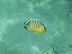 Photo: Chaetodon lunulatus (Oval Butterflyfish), Siquijor Island, Philippines