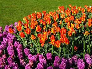Photo: Tulipes au parc floral du Keukenhof.