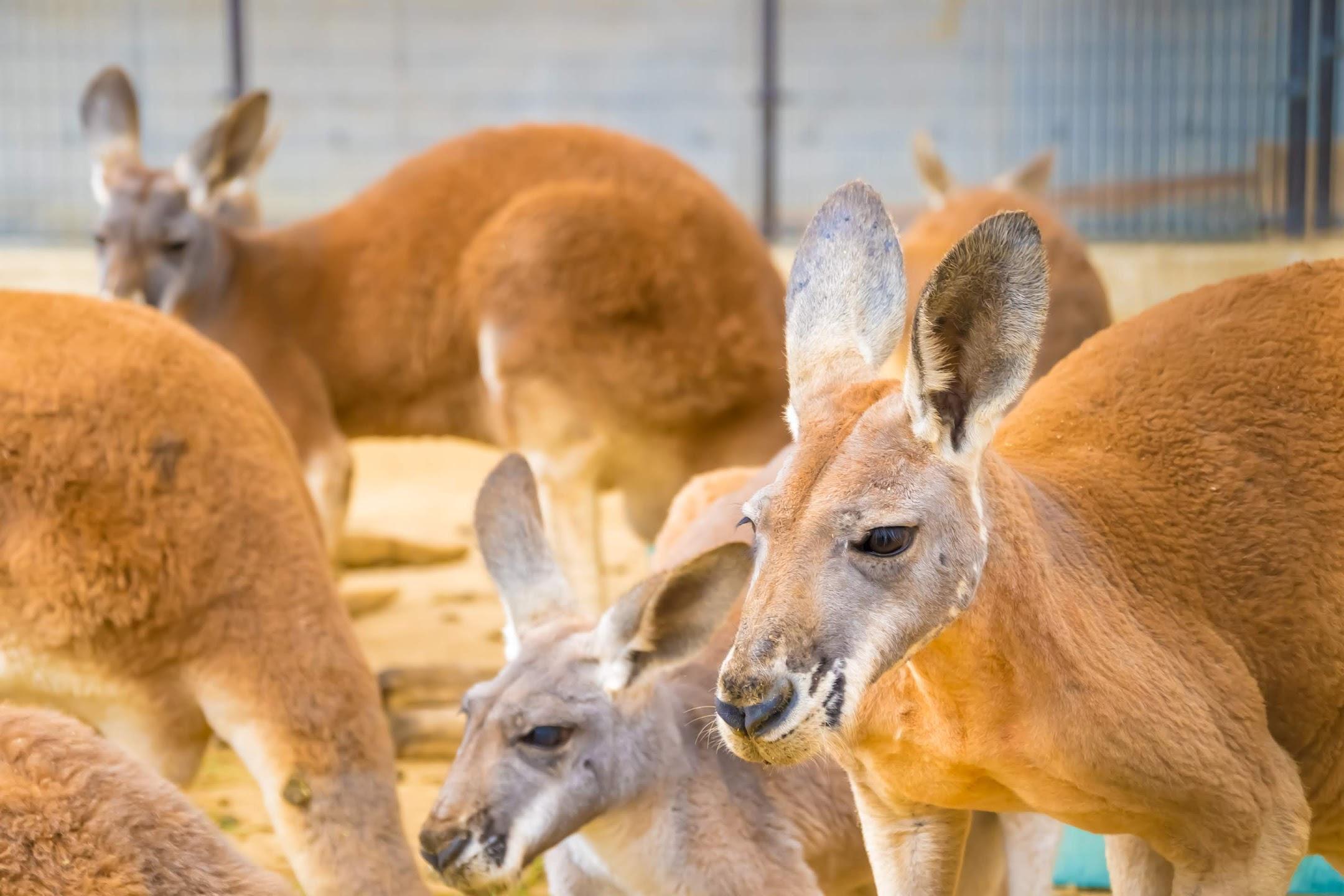神戸市立王子動物園 カンガルー1