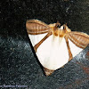 Eulepidotis rectimargo Moth