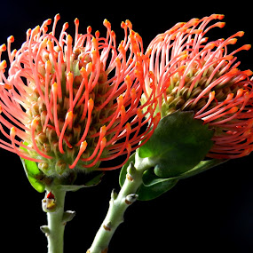 pai of Pincushions by Kathy Rose Willis - Flowers Flower Arangements ( black background, orange, orange flower, green, flowers,  )