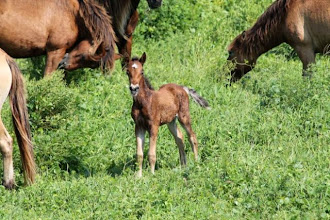 Photo: There are currently 33 horses on the reserve - including one foal born August 2012. There are seven social groups and two bachelors. (updated February 2013) MORE ON THE FERAL HORSE: http://beaufortartist.blogspot.com/2012/02/beaufort-horses-interview-source.html
