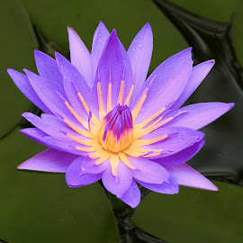 Lily 9989 by Raphael RaCcoon - Flowers Single Flower