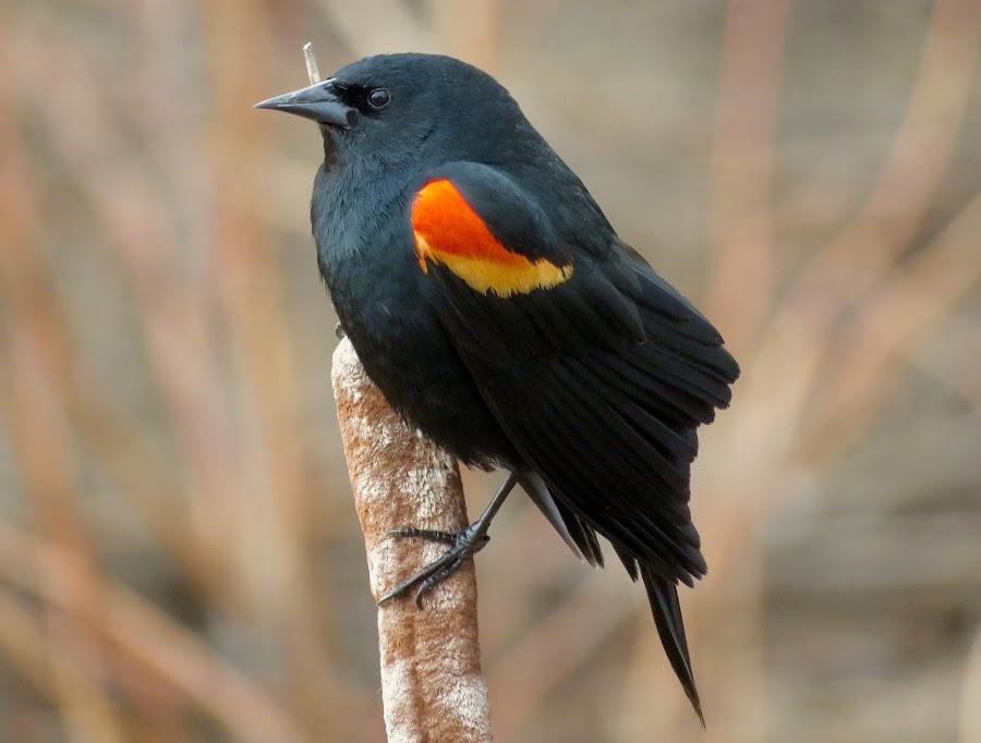 Red Winged Blackbird by Nick Swan - Animals Birds ( bird, nature, wildlife, red winged, blackbird, bc )