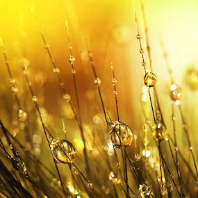 Golden Grass by Janet Herman - Abstract Macro ( grassland, grasses, macro, nature, grass, dew, drops, dewdrops, gold, golden )