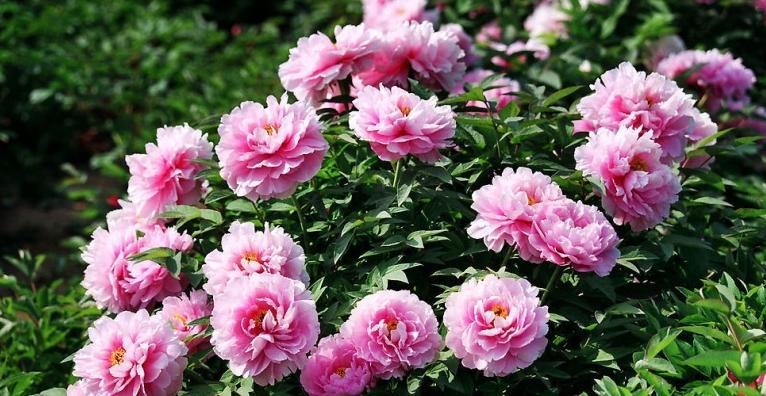 Ý nghĩa của hoa mẫu đơn hồng