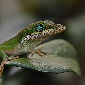 Green anole by Brook Kornegay - Animals Reptiles ( lizard, nature, anole, green, wildlife, leaf, reptile, close up, animal,  )