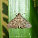 Spilomelinae Moth