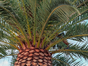 Photo: Pigeons in a Palm Tree - In Arizona it is definitely not a place to see a partridge in a pear tree but you can see pigeons in the palms.  Tempe, Arizona.