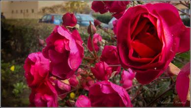 Photo: Trandafir (Rosa) - de pe Calea Victoriei, Bloc B15 - 2017.11.26