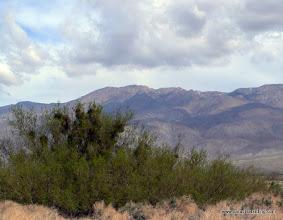Photo: Honey mesquite heavy with mistletoe; Anza Borrego Desert State Park