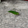 Florida False Katydid