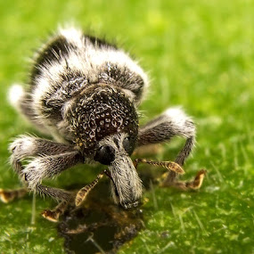 Little Weevil by Fairul Izwan CreativeVision - Animals Insects & Spiders ( macro )