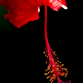 Red Hibiscus Flower by Doug Faraday-Reeves - Flowers Single Flower ( red, hibiscus, flower )
