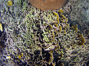 Photo: Finger Coral, Porites porites, growing in the boxes.