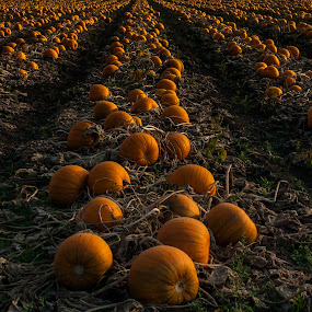 The Pumkin Patch by Shaun Groenesteyn - Landscapes Prairies, Meadows & Fields ( orange, pumpkin, gardens, farming, halloween, seasons, autumn, food, fall, pwcpumpkins, gardening, squash, harvest )