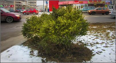 Photo: Cimisir (Buxus sempervirens) - de pe Calea Victoriei, spatiu verde Mr.2 - 2017.01.17
