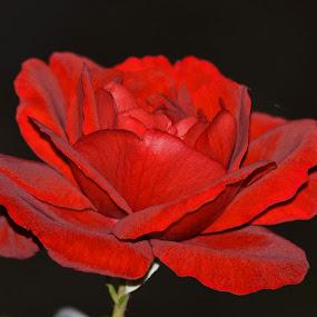 by Zoran Zoki Crnković - Flowers Single Flower (  )