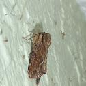 Gray Woodgrain Moth