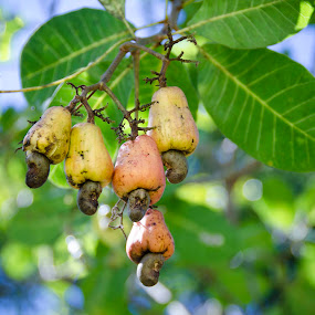 Jagus by Mohamad Sa'at Haji Mokim - Food & Drink Fruits & Vegetables ( fruit, tropical plants, nut, brunei, cashew )