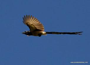 Photo: Black-throated Magpie-Jay overhead at Singayta
