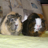 Sounds of guinea pigs