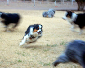 Photo: Rags chasing Pistol, Frenchi Mossy and Cowgirl