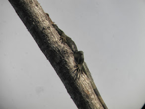 Photo: 3ft iguana up a tree