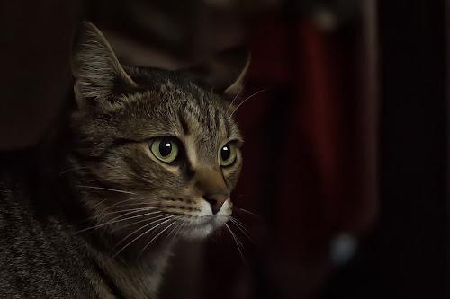 Bruno by Vanja Vidaković - Animals - Cats Portraits