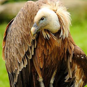 Parc de Sainte-Croix - Le vautour moine.jpg