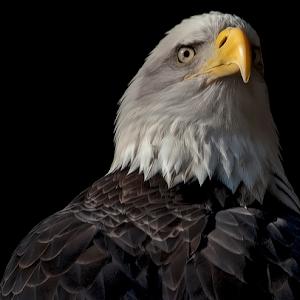 Bald Eagle 025.jpg