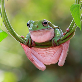 Swinging and singing by Kurit Afsheen - Animals Amphibians ( macro, animals, green, tree frog, amphibian )